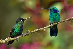 Fiery-throated Hummingbird - Panterpe insignis and Green Violet-ear - Colibri thalassinus. On one branch in Costa Rica royalty free stock photography