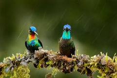 Fiery-throated Hummingbird, Panterpe insignis, and  Magnificent Hummingbird, Eugenes fulgens on the moss branch with rain. Wildlif Royalty Free Stock Photo