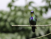 Fiery-throated Hummingbird (Panterpe insignis) Royalty Free Stock Image