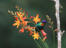 Fiery-throated Hummingbird Panterpe insignis royalty free stock photos