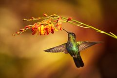 Fiery-throated Hummingbird, Panterpe insignis, shiny colour bird. In fly. Bird drinks from crocosmia. Wildlife flight action scene from tropic forest. Mountain Royalty Free Stock Image
