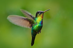 Fiery-throated Hummingbird, Panterpe insignis, shiny colour bird in fly. Wildlife flight action scene from tropic forest. Red glos. Fiery-throated Hummingbird royalty free stock photography