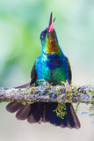 Fiery Throated Hummingbird. Vertical Composition Of Fiery Throated Hummingbird Perched And Chirping On Mossy Branch Royalty Free Stock Photo
