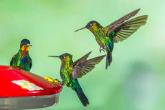 Fiery Throated Hummingbirds Stock Images