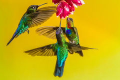 Fiery Throated Hummingbirds. Three Fiery Throated Hummingbirds Competing For Nectar At A Red Flower Stock Photography
