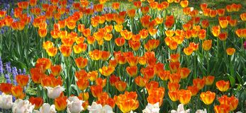 Fiery  Tulip Flowers Garden  Blooming  for Spring Stock Image