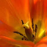 Fiery Tulip Stock Images