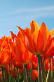 Fiery Tulips Stock Image