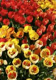 Fiery Tulips. Bright orange and yellow tulips in full bloom royalty free stock image