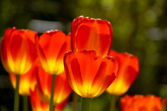 Fiery tulips Stock Images