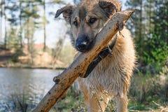 Fiesta divertida del golden retriever del perrito con un palillo en sus dientes imagen de archivo