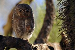 Fiesty Elf Owl Showing Talons. This fiesty Elf Owl is showing talons. This tiny owl is only a few inches tall. He is standing on a branch with cactus needles and stock photography