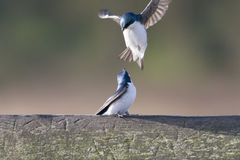 Fiesty Tree Swallows Stock Images