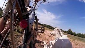 fietser van de 60 fps loopt de langzame motie in Azië een fiets door een ontruimd padieveld, ontmoetend een koe langs de manier stock footage