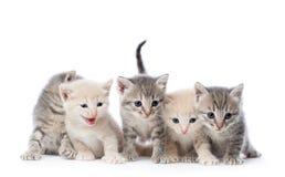 Fife kittens. Stock Photography