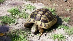 Fife years old greek turtle, or hermann´s tortoise, is eating stones. stock footage