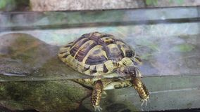 Fife years old greek turtle, or hermann´s tortoise, is taking a bath. stock video