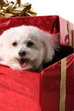 Fifi a bichon frise. Canis familiaris  smiles in a red gift box with a gold bow Royalty Free Stock Images