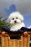 Fifi een Bicon Frise   Royalty-vrije Stock Foto's