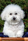 Fifi um Bicon Frise (familiaris do Canis) imagens de stock royalty free