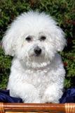 Fifi un Bicon Frise (familiaris de Canis) Images libres de droits