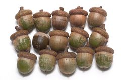 Fifteen Acorns, Isolated Stock Images