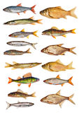 Fifteen Isolated Freshwater Fishes Collection Royalty Free Stock Images
