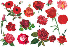 Fifteen red roses collection. Illustration with rose decoration isolated on white background Stock Illustration