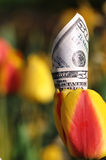 Fifty Dollar Bill in a Yellow and Red Tulip Royalty Free Stock Photography