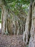 fig 2 korzenia drzewa Obrazy Stock