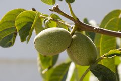 fig 2006 kefalonia Września komitata drzewo. Fotografia Royalty Free