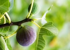 Free Fig Stock Photography - 4580752