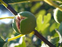 The fig Stock Images
