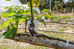 Fig agriculture plant Stock Images