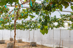 Fig agriculture plant Royalty Free Stock Images