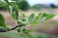 Fig branch Stock Image