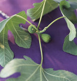 Fig branch Royalty Free Stock Images