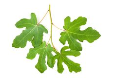 Fig branch Royalty Free Stock Image