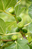 Fig branch with fruit and leaves. Stock Image