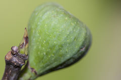 Fig bud and fruit royalty free stock photos