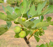Fig on Common fig tree Stock Image