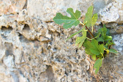 Fig in crack Royalty Free Stock Image