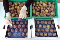 Fig. die Professionele voorraadfotografie inpakken Royalty-vrije Stock Fotografie