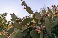 Fig drzewa w wsi blisko średniowiecznej białej wioski Ostuni obrazy stock