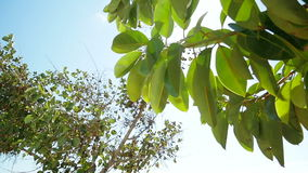 Fig ficus tree in slow motion with lens sun flare stock video
