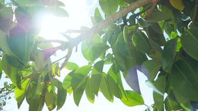 Fig ficus tree in slow motion with lens sun flare stock footage
