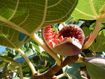 The fig fruit royalty free stock photography