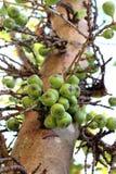 Fig.fruit Royalty-vrije Stock Afbeeldingen