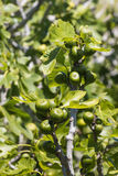 Fig.fruit en bladeren Royalty-vrije Stock Foto