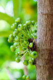 Fig fruit. Green Fig fruit on tree in Thailand Stock Photos